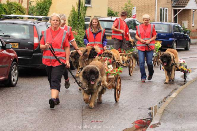 Leonbergers pulling decorated carts