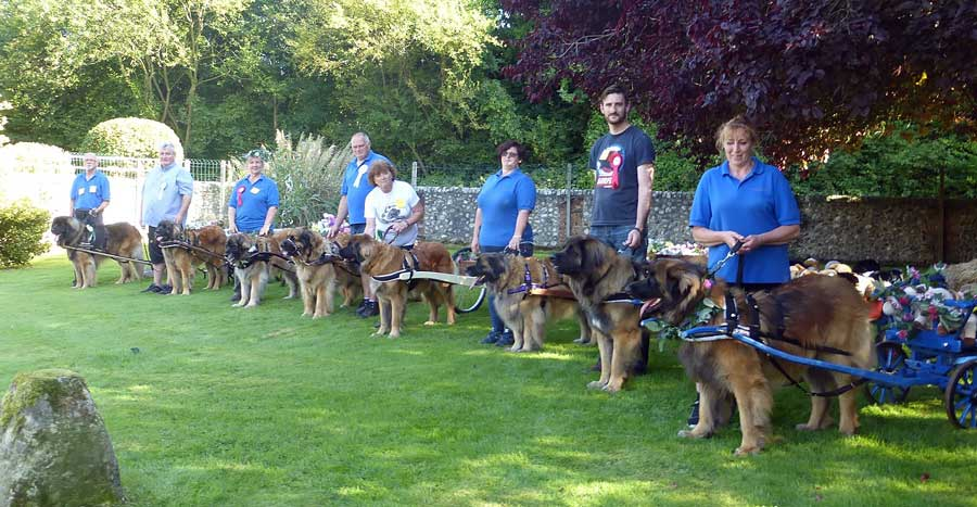 Line-up of Leonbergers in harness ready to pull carts