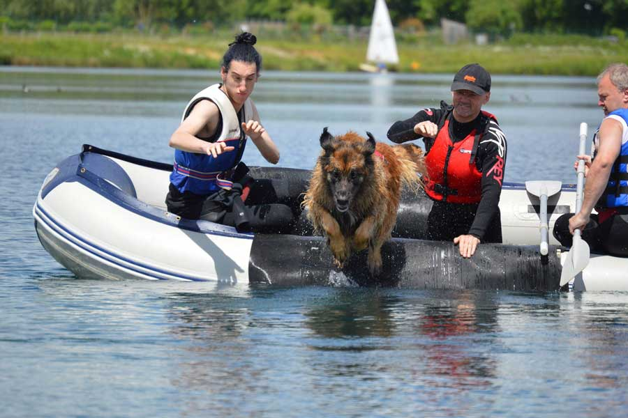 Leonberger leaping from a boat in training