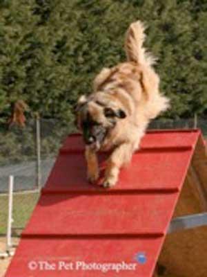 Leonberger agility