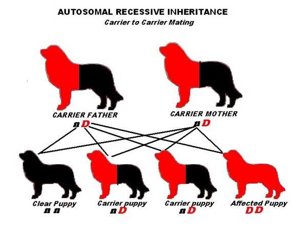 Autosomal Recessive inheritance - Carrier to Carrier
