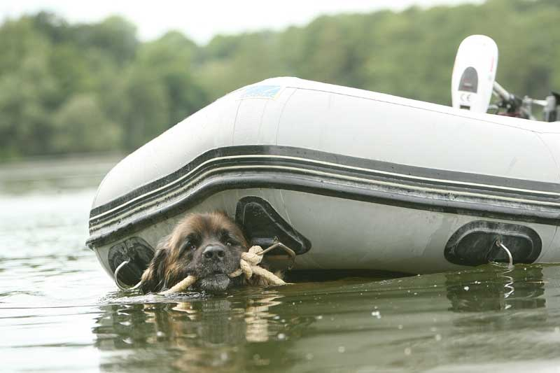 Leonberger towing a boat