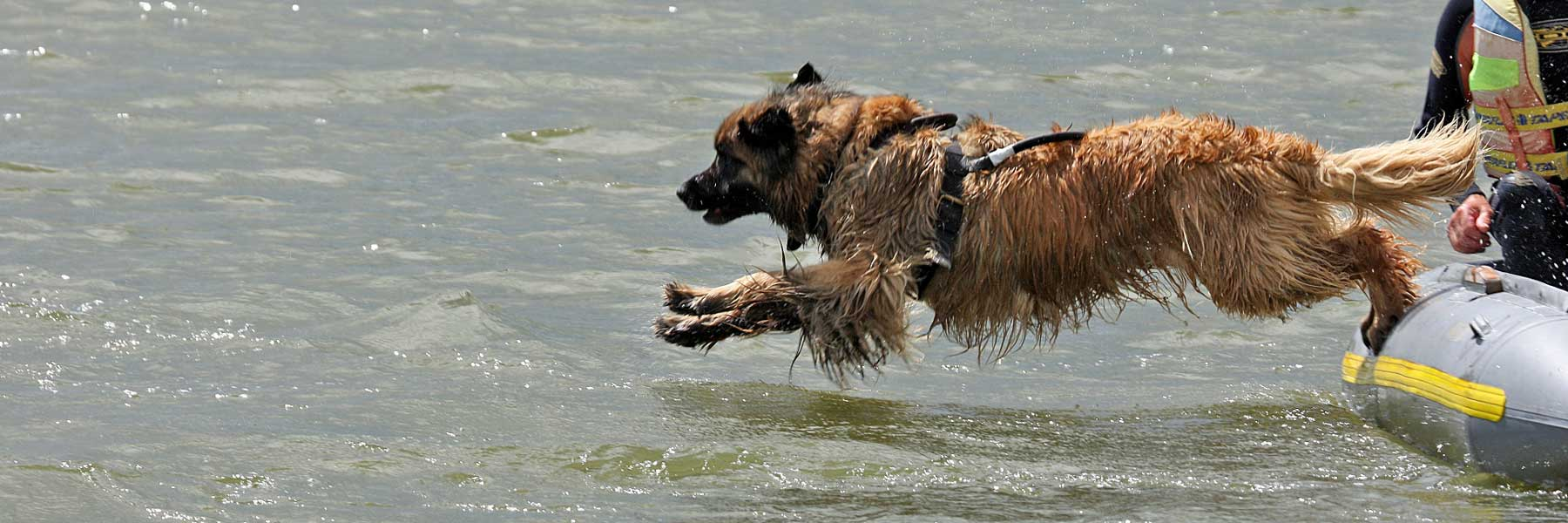 Leonberger umping from a boat