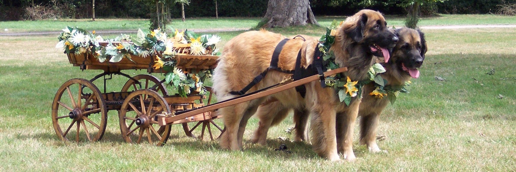 Brace of Leonbergers pulling a decorated cart