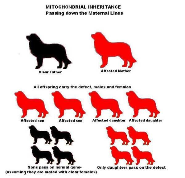 Mitochondrial inheritance diagram